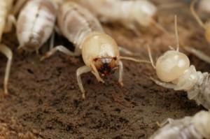 Термиты и муравьи Австралии прячут в себе золото