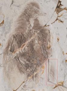 Ученые предполагают, что древние птицы были бипланами