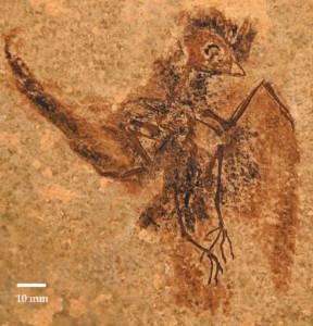 Палеонтологи нашли древнего предка современных стрижей и колибри