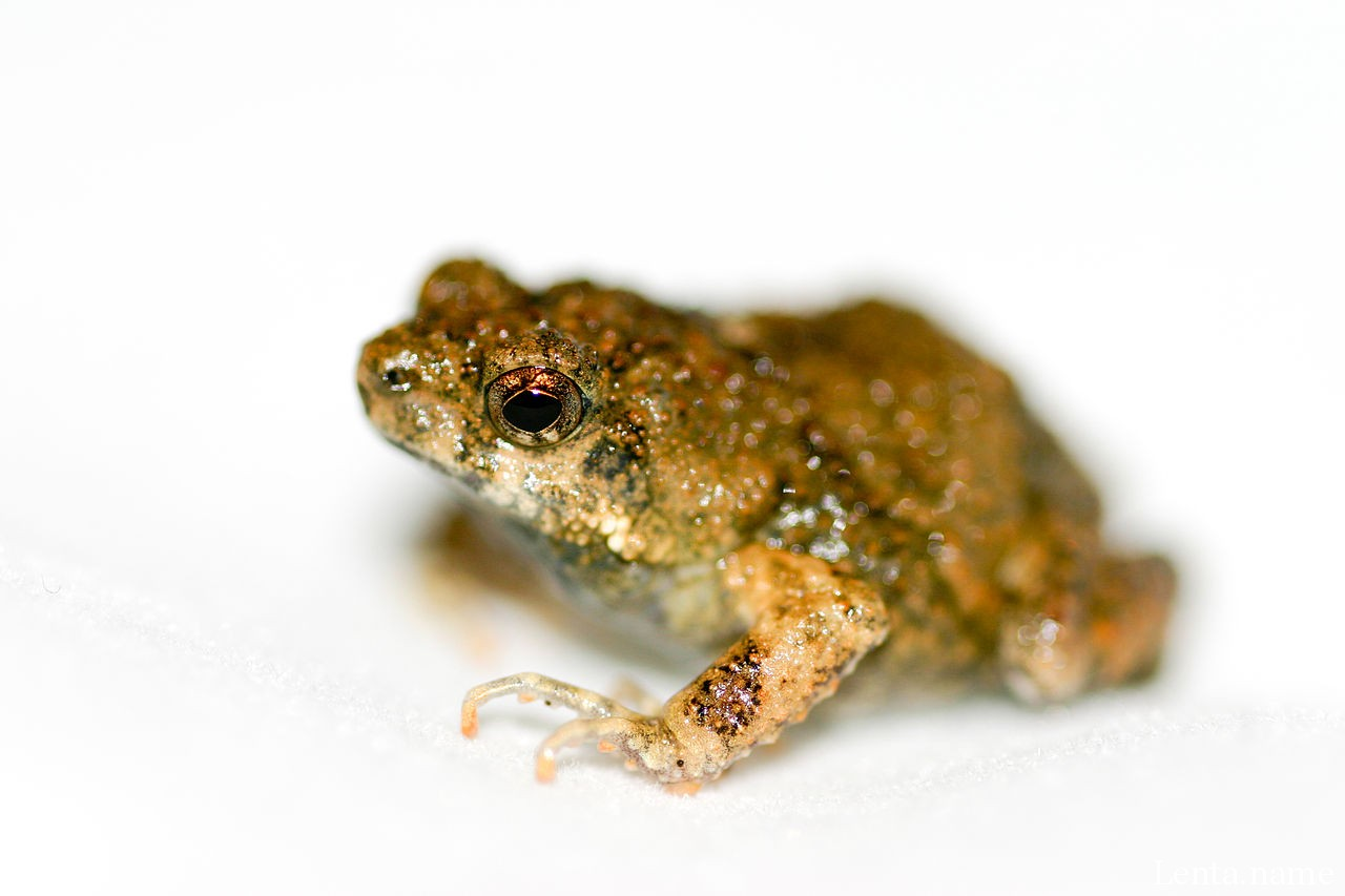 Австралийские лягушки применяют разные тактики спасения от разных хищников