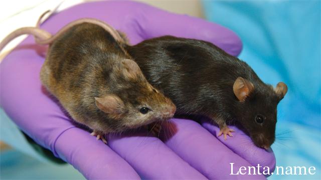 Ученые смогли заснять на видео развитие эмбриона мыши в первые три дня