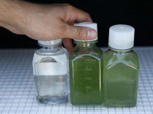 Морские водоросли озеленяют воду