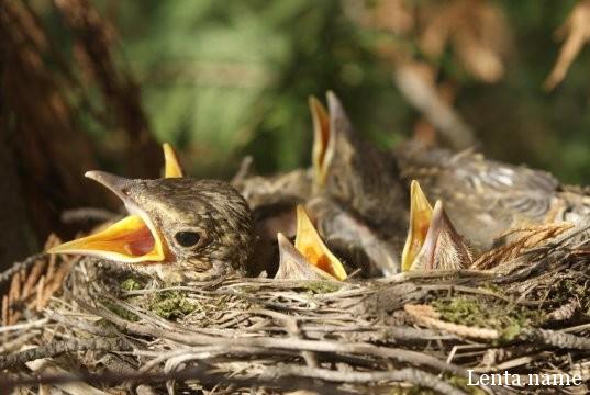 Почему птенцы преувеличивают чувство голода?