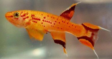Киллифиш в 8000 раз лучше адаптируется к летальному уровню загрязнения, чем любая другая рыба
