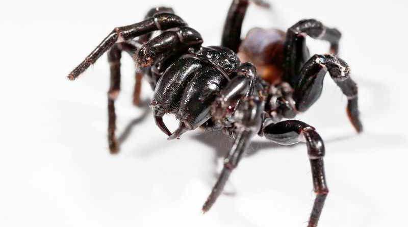 Смертельно опасный яд австралийского паука может предотвратить повреждение мозга вызванного инсультом