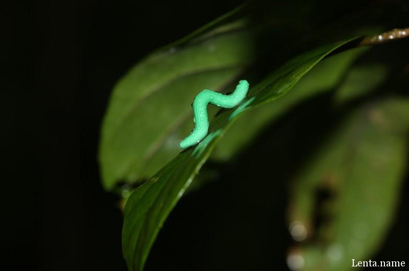 Пластилиновая гусеница в ожидании возможных нападений хищников в лесу Тай Бо Кау, Гонконг