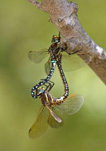 Почему самки стрекоз притворяются мертвыми