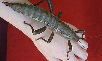 Сохранение редчайшего насекомого в мире, считавшегося вымершим