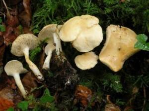 Hydnum vesterholtii - второй новичок в семействе.
