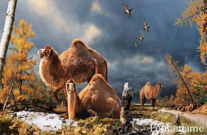 Огромные доисторические верблюды бродили по Арктике