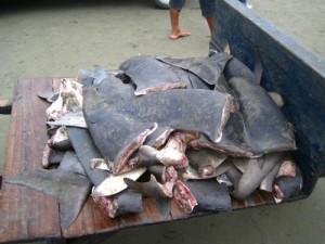 Акулы могут исчезнуть в течение нескольких десятилетий