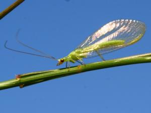 Палеонтологи описали десять видов прародителей зеленой златоглазки
