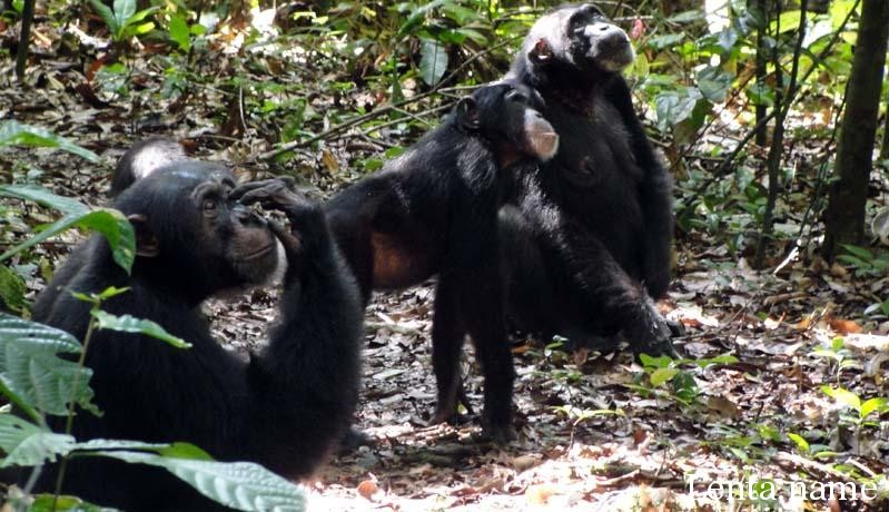 Шимпанзе используют навыки ботаников при поиске фруктов