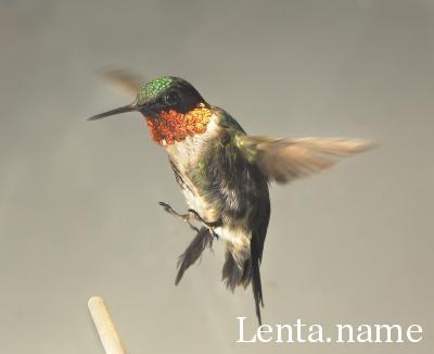 Ученые изучают уникальный метаболизм колибри