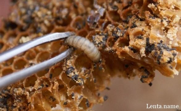 Эти гусеницы могли бы устранить пластмассовое загрязнение