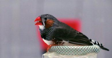 Даже не перелетные птицы используют магнитный компас